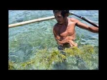 Embedded thumbnail for Seaweed farming