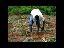 Embedded thumbnail for The story of a Successful Pineapple Grower