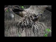 Embedded thumbnail for Impact de la destruction de la mangrove dans le district d'Angoche